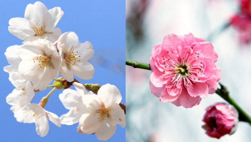 What are the Differences Between Plum Blossom and Cherry Blossom?