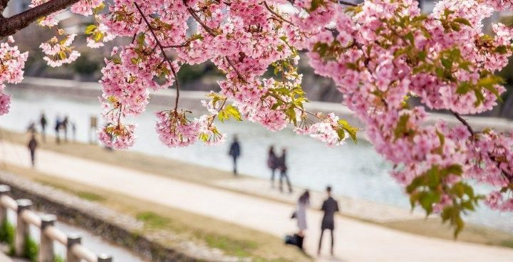 What is the 2019 Japan Cherry Bloom Forecast